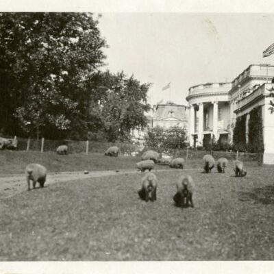 Sheep grazing at the White House (1919)