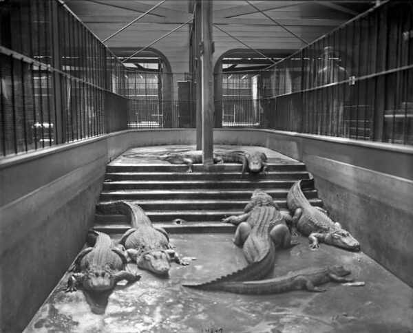 """Alligators in their enclosure in the original Animal House, also known as the Carnivora House, which opened in 1892 and was the first permanent building at the National Zoological Park. The alligators are housed in the """"temporary"""" wooden wing of the structure (Smithsonian)"""