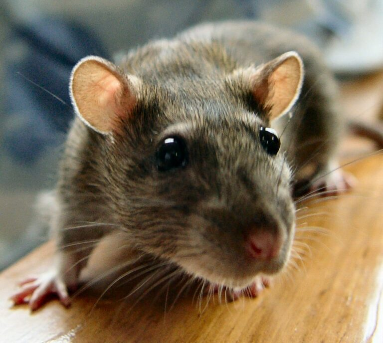 rats are gross
