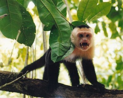 this capuchin will steal your food