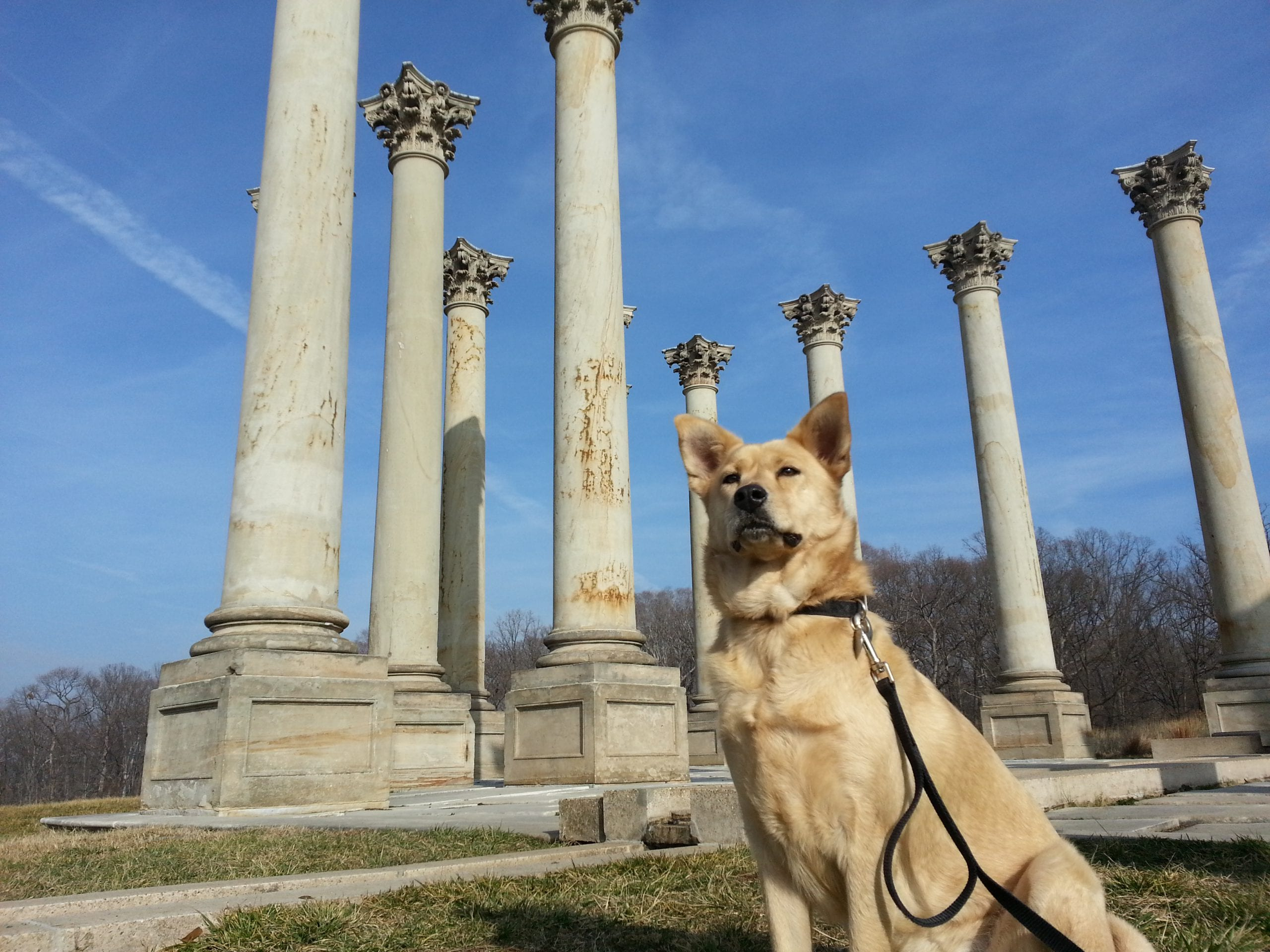 Ghost Dog at the old Capitol columns in the National Arboretum (looking for stories)