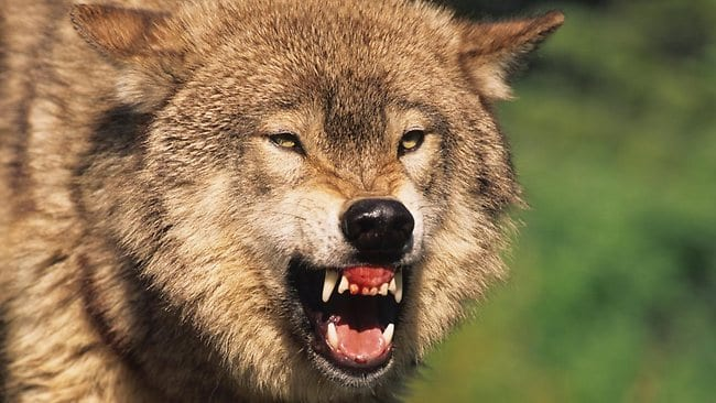 wolves are super scary
