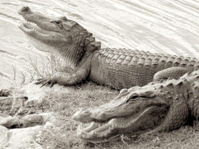 two alligators ... they are scary