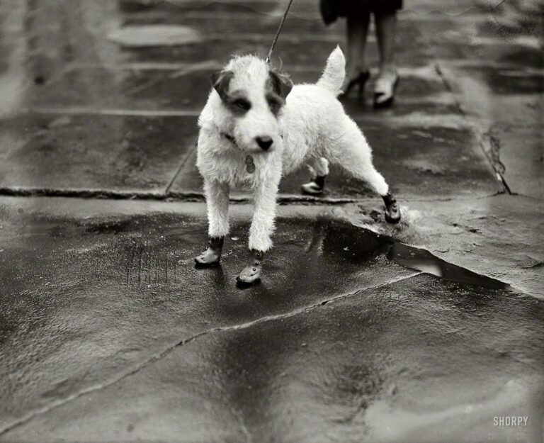 """Feb. 9, 1928. Washington, D.C. """"Peter Pan, wire-haired terrier pet of the personal secretary to President Coolidge and Mrs. Edward T. Clark, arrived at the White House today attired in 'flapper galoshes'."""""""